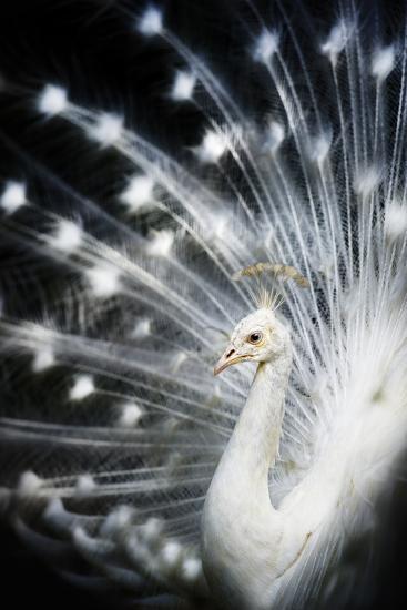 White Peacock-Copyright (c) Richard Susanto-Photographic Print