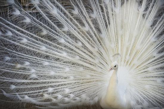 White Peacock-Aliraza Khatri's Photography-Photographic Print
