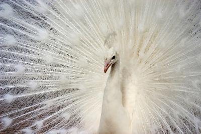 White Peacock-Richard F Cox-Photographic Print