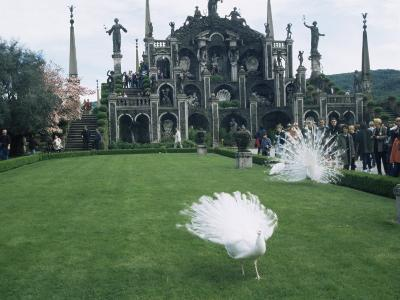 White Peacocks in Front of Folly, Isola Bella, Lake Maggiore, Piedmont, Italy-Sheila Terry-Photographic Print