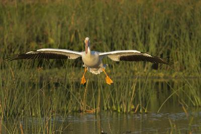 White Pelican Coming in for a Landing, Viera Wetlands, Florida-Maresa Pryor-Photographic Print