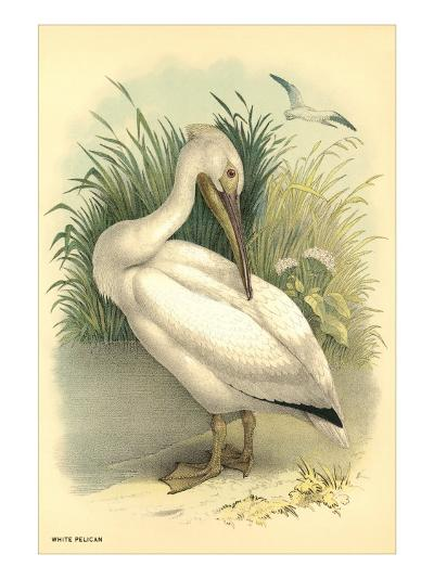 White Pelican--Art Print