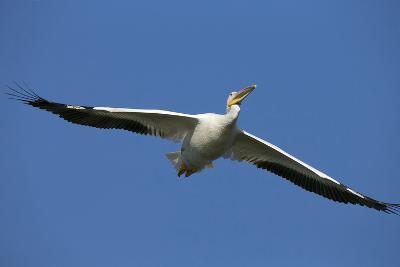 White Pelicans in Flight, Viera Wetlands, Florida-Maresa Pryor-Photographic Print