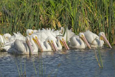 White Pelicans in Line to Begin Feeding, Viera Wetlands, Florida-Maresa Pryor-Photographic Print