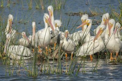 White Pelicans Resting and Preening, Viera Wetlands, Florida-Maresa Pryor-Photographic Print