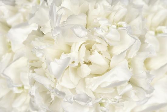 White Peony Flower-Cora Niele-Photographic Print