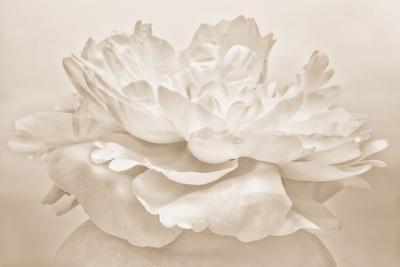 https://imgc.artprintimages.com/img/print/white-peony_u-l-q12u8rc0.jpg?p=0
