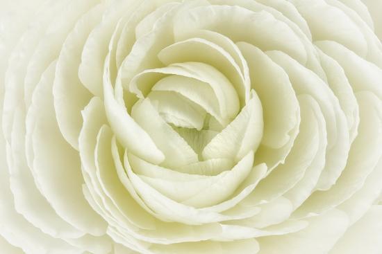 White Persian Buttercup-Cora Niele-Photographic Print