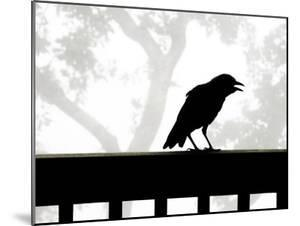 American Crow Silhouetted Against a Grey Sky with His Beak Open by White & Petteway