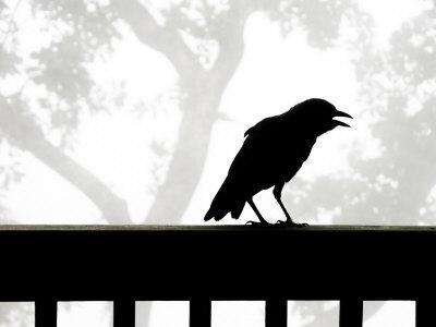 American Crow Silhouetted Against a Grey Sky with His Beak Open