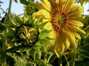 Close-up of a Sunflower Bud and a Blossom by White & Petteway