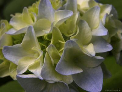 Close-up of Hydrangea Flowers by White & Petteway