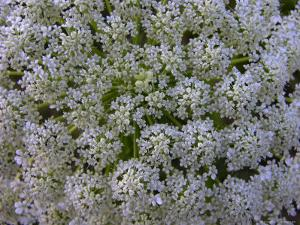 Close-up of Queen Anne's Lace, Wildflower of the Blue Ridge Mountains by White & Petteway