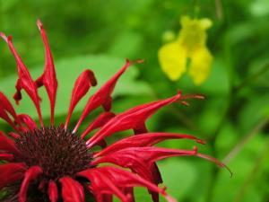 Close Up of Red Bee-Balm Flower, Pale Jewelweed Is Behind by White & Petteway