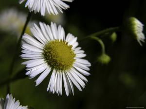 Daisy Fleabane, Wildflower of the Blue Ridge and Smoky Mountains by White & Petteway