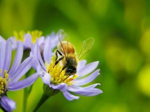 Honey Bee Collecting Pollen from an Aster Flower with Purple Petals by White & Petteway