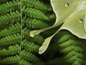 Luna Moth Resting on a Fern, its Eye Spots and Long Tail Visible by White & Petteway