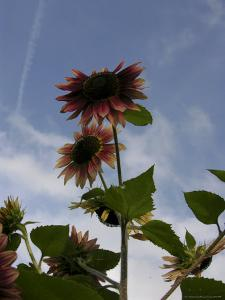 Red Sunflower Blossoms Backlit Against a Blue Sky by White & Petteway