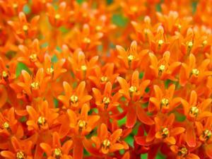 This Butterfly Weed Is a Celebration of Rich Orange Color and Pattern by White & Petteway