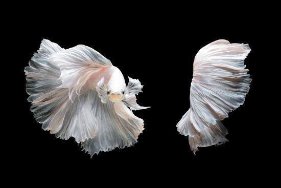 White Platinum Betta Fish or Siamese Fighting Fish in Movement Isolated on Black Background-Nuamfolio-Photographic Print