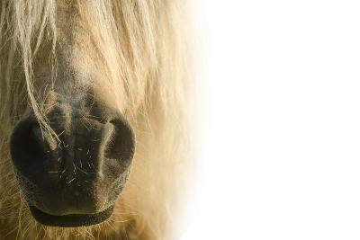 White Pony. Nose Pony on White Background- swevil-Photographic Print