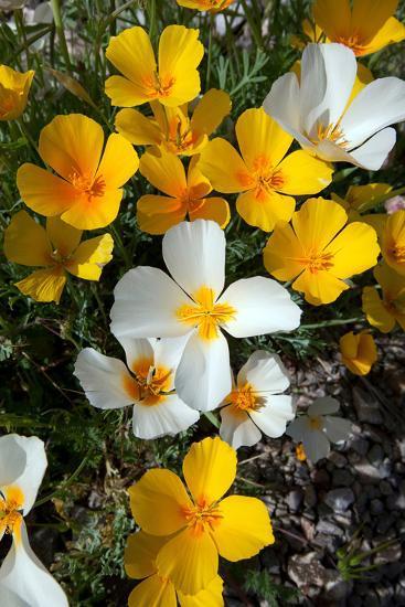 White Poppies Bloom in the Sonoran Desert, Tucson, Arizona-Susan Degginger-Photographic Print