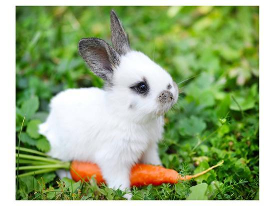 White Rabbit With a Carrot--Art Print