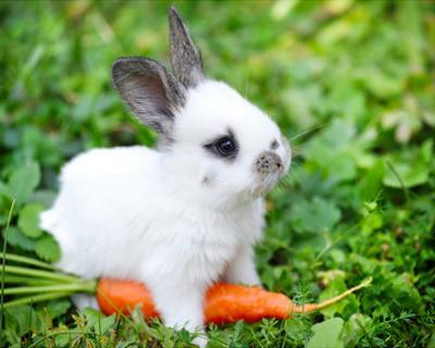 White Rabbit With a Carrot