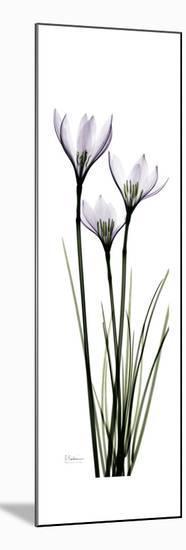 White Rain Lily-Albert Koetsier-Mounted Premium Giclee Print