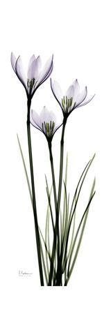 https://imgc.artprintimages.com/img/print/white-rain-lily_u-l-pyjssy0.jpg?p=0