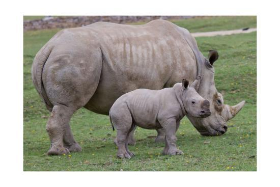 White Rhino and Baby-Lantern Press-Art Print