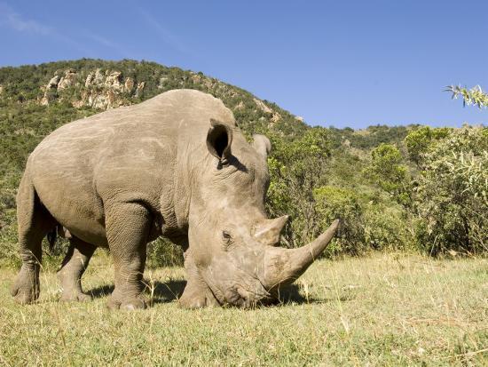 White Rhino, Breeding Animal for Introduction Eleswhere in Kenya, Kenya-Mike Powles-Photographic Print