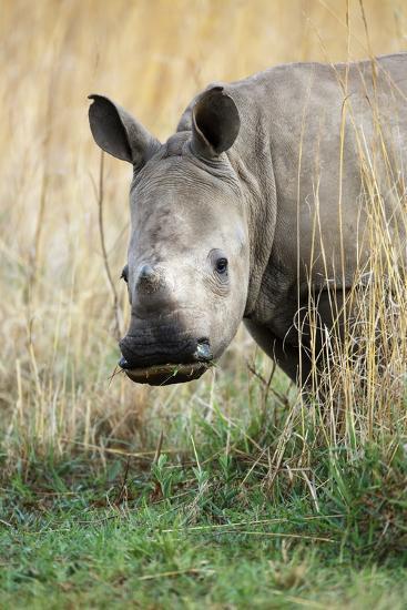 White Rhino Calf-Richard Du Toit-Photographic Print