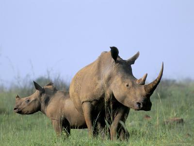 White Rhino (Ceratherium Simum) with Calf, Itala Game Reserve, South Africa, Africa-Steve & Ann Toon-Photographic Print
