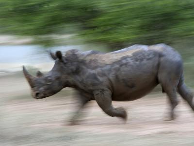 White Rhino (Ceratotherium Simum) Charging, Hlane Royal National Park Game Reserve, Swaziland-Ann & Steve Toon-Photographic Print