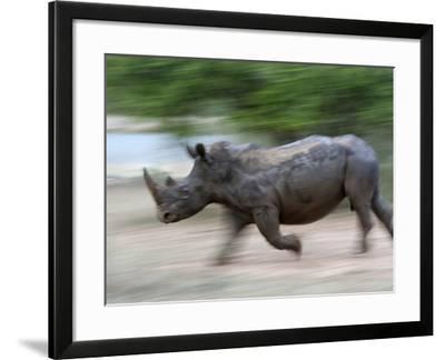 White Rhino (Ceratotherium Simum) Charging, Hlane Royal National Park Game Reserve, Swaziland-Ann & Steve Toon-Framed Photographic Print