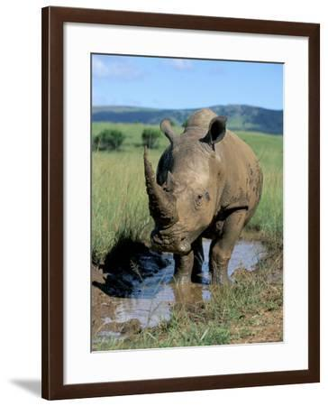 White Rhino (Ceratotherium Simum) Cooling Off, Itala Game Reserve, South Africa, Africa-Steve & Ann Toon-Framed Photographic Print