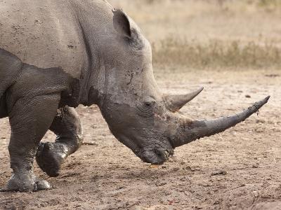 White Rhino (Ceratotherium Simum), Imfolozi Game Reserve, Kwazulu-Natal, South Africa, Africa-Ann & Steve Toon-Photographic Print