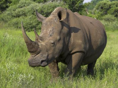 White Rhino, Pilanesberg Game Reserve, North West Province, South Africa, Africa-Ann & Steve Toon-Photographic Print