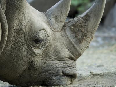 White Rhino Sniffs the Muddy Ground at the Henry Doorly Zoo, Nebraska-Joel Sartore-Photographic Print