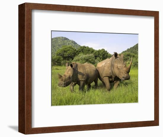 White Rhino, with Calf in Pilanesberg Game Reserve, South Africa-Steve & Ann Toon-Framed Photographic Print
