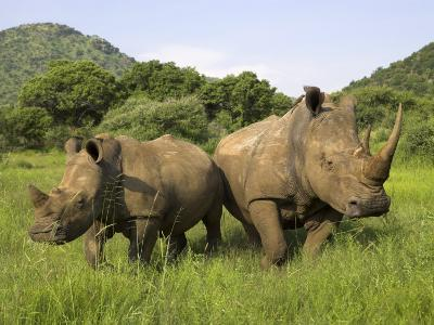 White Rhino, with Calf in Pilanesberg Game Reserve, South Africa-Steve & Ann Toon-Photographic Print