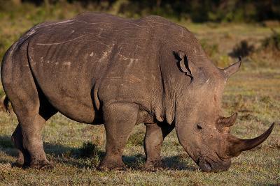White Rhino-Howard Ruby-Photographic Print