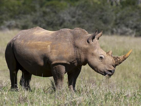 White Rhinoceros (Caratotherium Simum), Kariega Game Reserve, South Africa, Africa-Sergio Pitamitz-Photographic Print