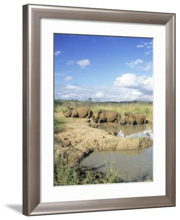 White Rhinoceros, Ceratotherium Simum, at Rest, Hluhluwe Umfolozi Game Reserve, South Africa-Ann & Steve Toon-Framed Photographic Print