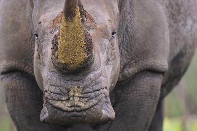 White Rhinoceros (Ceratotherium Simum) Close Up Portrait, Imfolozi National Park, South Africa-Staffan Widstrand-Photographic Print