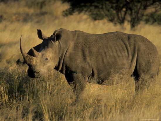 White Rhinoceros, Ceratotherium Simum, Namibia, Africa-Thorsten Milse-Photographic Print