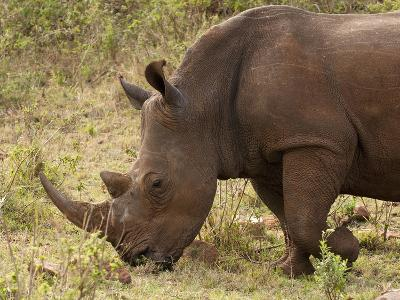 White Rhinoceros (Cerototherium Simium), Masai Mara, Kenya, East Africa, Africa-Sergio Pitamitz-Photographic Print