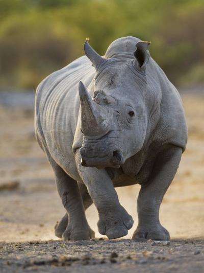White Rhinoceros Etosha Np, Namibia January-Tony Heald-Photographic Print