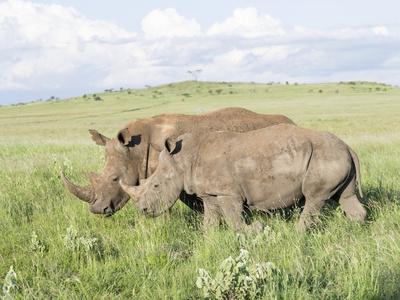 https://imgc.artprintimages.com/img/print/white-rhinoceros-kenya_u-l-pn5ai00.jpg?p=0